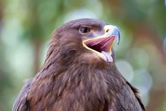 Red Kite Eagle Stock Photos