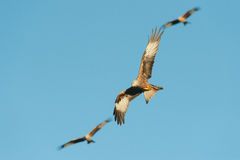 Red Kite Stock Photography