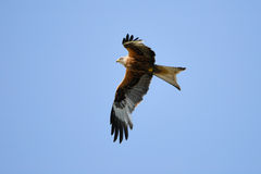 Red Kite in flight Stock Photo