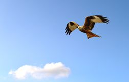 Red Kite in flight Royalty Free Stock Photos