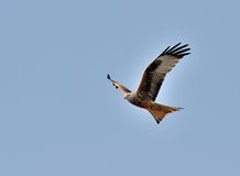 Red kite in flight II royalty free stock photography