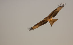 Red Kite in flight Stock Photography