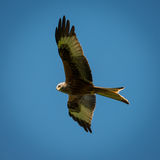 Red Kite in flight Royalty Free Stock Images