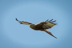 Red Kite in flight. Red Kite, Milvus milvus in flight over southern england Stock Photo