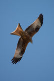 Red Kite in flight Stock Images