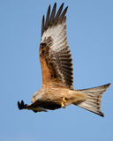 A Red Kite in Flight over Gigrin Fram. A Red Kite soaring above the feeding ground at Gigrin Farm, Mid-Wales Royalty Free Stock Images
