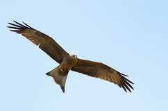 Red kite flying Stock Images
