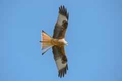 Red Kite Royalty Free Stock Photo