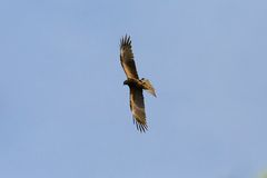Red Kite. A red kite flying in the air with its legs sideways Royalty Free Stock Photo