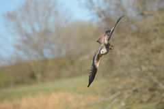 Red Kite Stock Photos