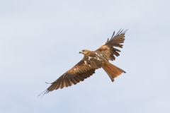Red Kite Flying Royalty Free Stock Photography