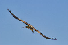 Red kite head on. Welsh red kite head on Stock Photo