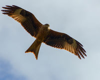 Red Kite Hunting Royalty Free Stock Image