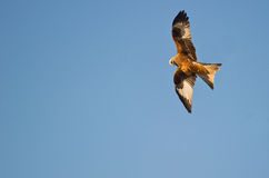 A Red Kite just before a nosedive Stock Photo
