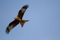 Red Kite. S are birds of prey (Milvus milvus). After nearly being hunted nearly to extension they are becoming more common in the British Isles. They are fed Stock Images