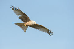 Red Kite - Leucistic form Stock Photos