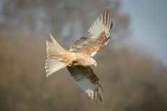 Red Kite - Leucistic form Royalty Free Stock Photography