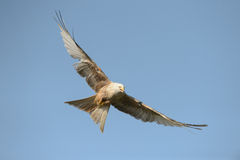 Red Kite - Leucistic form Stock Photo