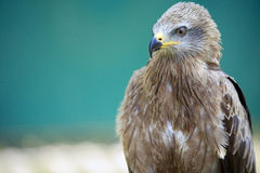 The Red Kite Royalty Free Stock Photos