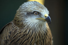The Red Kite Stock Images