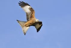Red Kite - Milvus milvus. Red Kite in flight against blue sky - Milvus milvus Royalty Free Stock Image