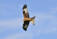 Red Kite - Milvus milvus Royalty Free Stock Images