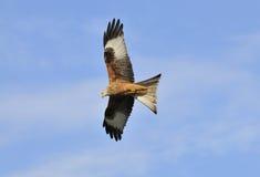 Red Kite - Milvus milvus. Red Kite against blue sky - Milvus milvus Royalty Free Stock Images