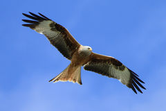 Free Red Kite (Milvus Milvus) Stock Images - 14705274