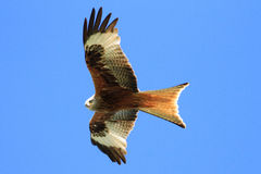 Red Kite (Milvus milvus). A Red Kite (Milvus milvus) soars in the thermal currents over Galloway, South West Scotland. It is a recently reintroduced species to stock images