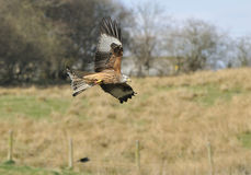 Red Kite - Milvus milvus Stock Image