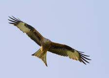 Red Kite (Milvus milvus) Royalty Free Stock Photo
