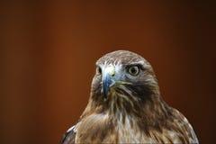 Red Kite - Milvus milvus. Portait on brown background Stock Photography