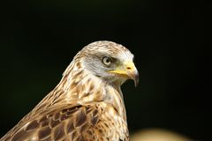 Red Kite - Milvus milvus. Portait on dark background Royalty Free Stock Photography