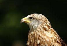 Red Kite - Milvus milvus. Portait on dark green background Royalty Free Stock Photos