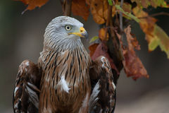 Red kite (Milvus milvus) autumn colours. Red kite (Milvus milvus) is a medium-large bird of prey in the family Accipitridae in autumn colours Royalty Free Stock Photography
