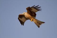 Red kite (Milvus milvus) bird of prey in flight Royalty Free Stock Photos