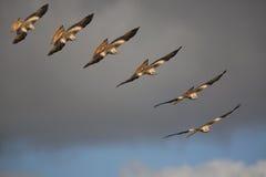 Red kite (Milvus milvus) bird of prey in flight. In the sky Royalty Free Stock Photo