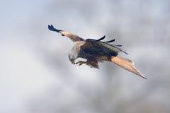 Red kite (milvus milvus) feeding in flight Stock Image