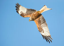 Red kite (Milvus milvus) in flight Royalty Free Stock Photos