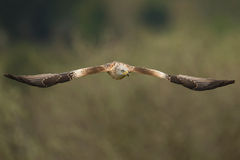 Red kite (Milvus milvus) in flight Stock Images