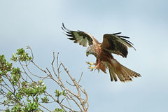 Red kite Milvus milvus Royalty Free Stock Photos