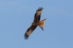 Red Kite (milvus milvus) Royalty Free Stock Image