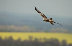 Red kite (Milvus milvus) in flight Stock Photo