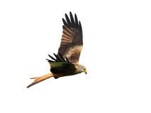 Red kite (Milvus milvus) Stock Photography