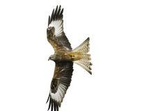 Red Kite (Milvus milvus) in flight Stock Photo