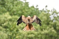 Red Kite. Red Kite milvus milvus in fly Stock Image