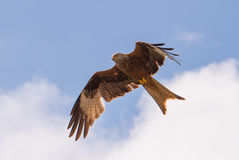 Red kite. The red kite (milvus milvus) is flying and looks for food Stock Photos