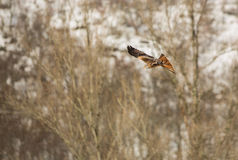 Red Kite in flight over a forest Stock Image