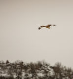Red Kite in flight over mountain Royalty Free Stock Photo