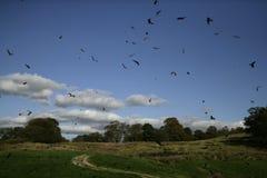 Red kite, Milvus milvus. Group birds in flight, Wales, UK Royalty Free Stock Photography